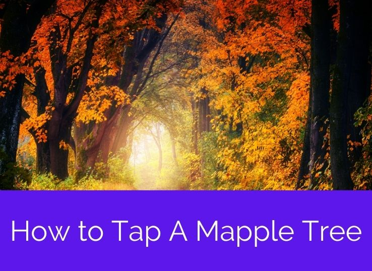 How to Tap A Mapple Tree