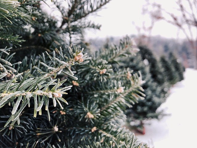 Best Christmas Tree Farms in Ct