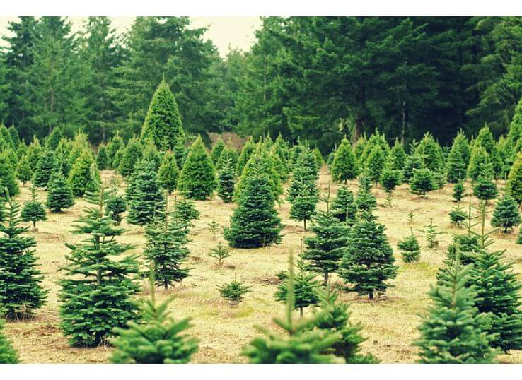 Best Christmas Tree Farms in Omaha
